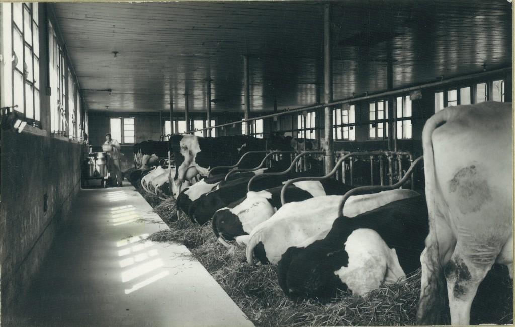 interior with cows2
